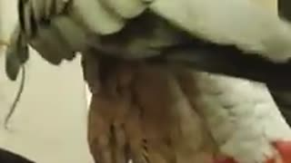 Amarous parrot is truly in love with his human