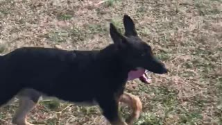 German Shepherd and Jogger POV  - Video
