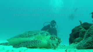 Mysterious tumors in sea turtles baffle scientists - Video