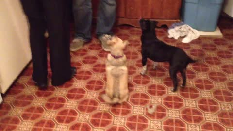 Dogs twirl together for a treat