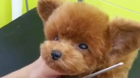 Puppy's new haircut is a cuteness overload!