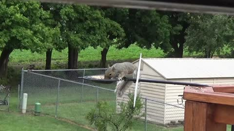 Squirrel Shows Amazing Acrobatic Skills In Overcoming A Hurdle