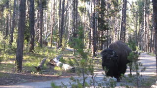 How to be Quiet Around a Bison - Video