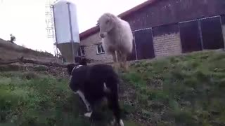 dog and sheep
