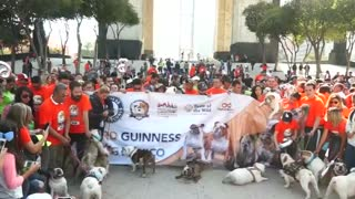 Bulldogs parade through Mexico City in hopes of setting world record - Video