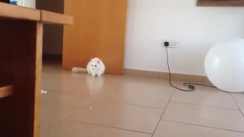 White Cat Goes 'Kakate' on White