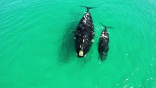 Astonishing Bird's-Eye View Of Whales And Their Calves In Western Australia - Video