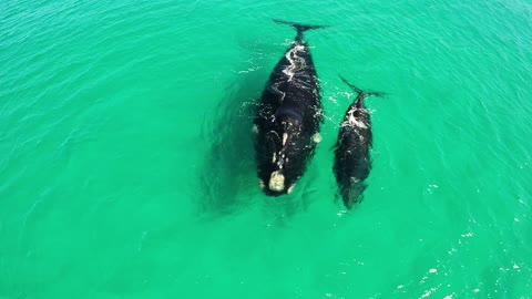 Astonishing Bird's-Eye View Of Whales And Their Calves In Western Australia