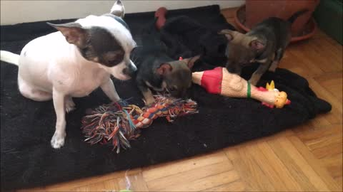 Cute chihuahua puppies playing with some toys