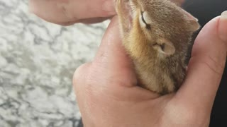 Feeding Baby Chippy with Eyedropper