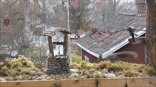 Red squirrels and the wishing well - Video