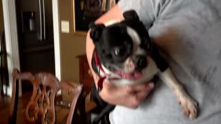 Boston Terrier attempts to say