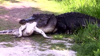 It's A Gator-Eat-Gator World - Video