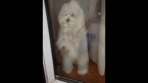Maltese puppy doesn't want owners to leave