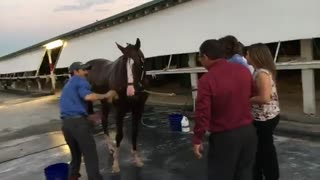 California Chrome's Bath After Final Race – What An Incredible Disposition - Video