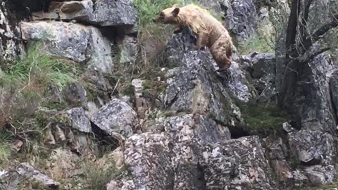 Bear Struggles To Get Out Of Strong Current
