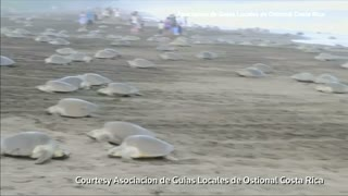 Thousands of turtles nest on Costa Rica beach