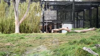 Best Ever Lions Fighting Melbourne Zoo - Video