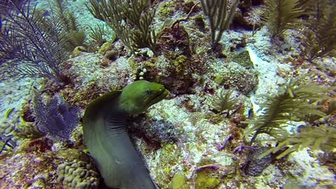 Gigantic moray eel swiftly glides across coral reef