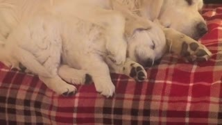 Golden Retrievers preciously nap together - Video