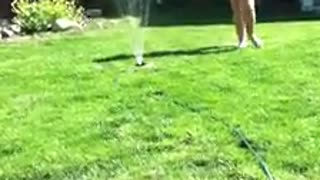 Dog loves playing with sprinkler - Video