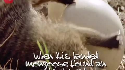 Mongoose Can't Open Egg