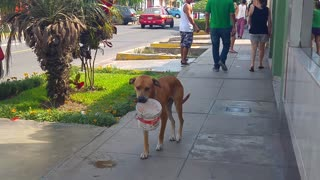 Thirsty Dog Carries Bucket - Video