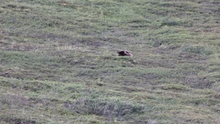 Grizzly Bear Rolling Down A Hill At Denali National Park - Video