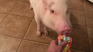 Pickle the Mini Pig Eats a Gerber Grabber  - Video