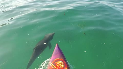 Paddle boarding with baby dolphins
