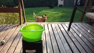 Dog Play whit tennis Ball - Video