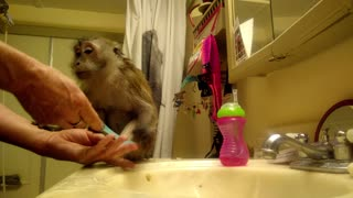 Monkey refuses to let go of owner's hand - Video