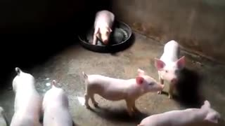 Cute pigs - Cute pigs 50 days old  - Video