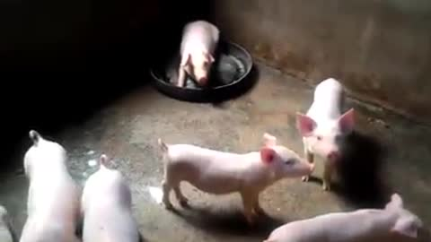Cute pigs - Cute pigs 50 days old
