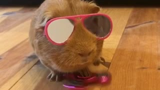 Super cool guinea pig plays with fidget spinner - Video