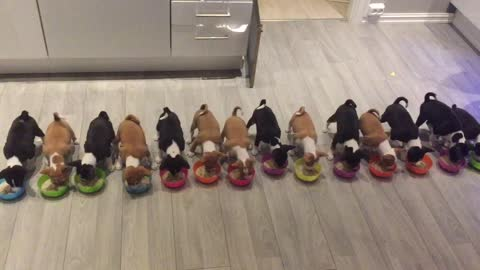Look At These 14 Cute Basenji Puppies All Enjoying A Meal Together