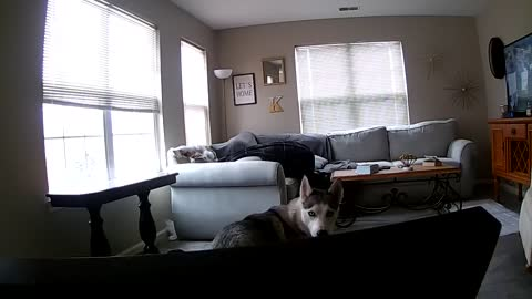 Owner Catches Husky Eating Couch On PawboLife