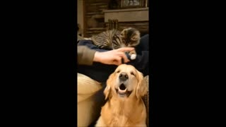 Jealous kitten steals attention from dog - Video