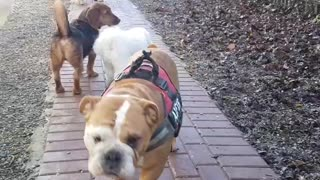 Slobbery Alfie the bulldog  - Video