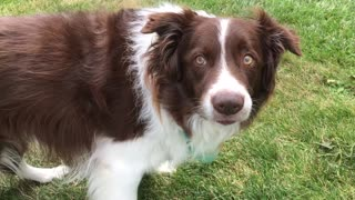 Super Smart Dog Answers Owner - Video