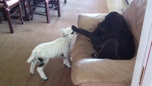 Adorable pet lamb thinks she's a dog - Video