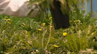 Flower power! Dandelions make car tires? - Video