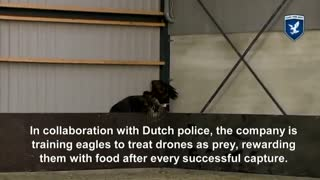 Eagles are talonted adversary for rogue drones - Video