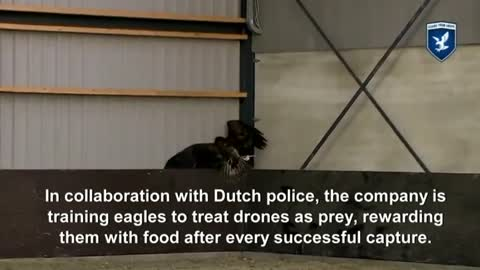 Eagles are talonted adversary for rogue drones