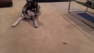 Husky adorably scared of his treat - Video