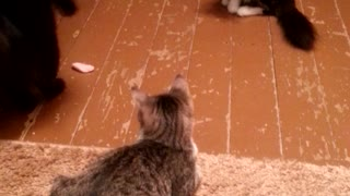 Cat and meat - Video