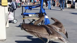 Friendly Pelican on pier - Video