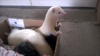 Ferret cruising in her box - Video