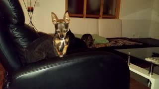 chihuahuas on couch  - Video