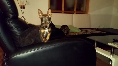 chihuahuas on couch